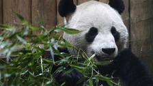 Yang Guang inside his enclosure at Edinburgh zoo