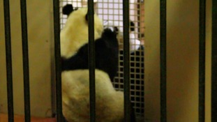 Pandas in the 'love tunnel' at Edinburgh Zoo