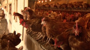 Race is on for farmers trying to sell 7,000 hens