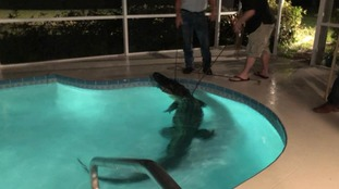 11-foot alligator found in Florida family's swimming pool