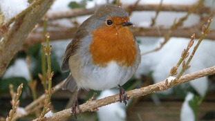 A Robin in Shipston-on-Stour, Warwickshire