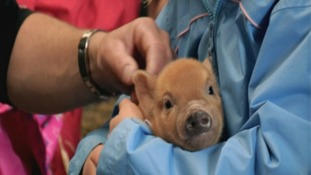 When micropigs become macropigs: the true cost of owning a pet