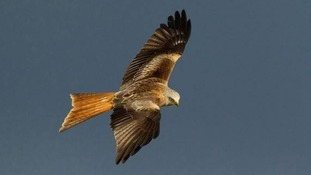 Bird of prey found in Dumfries and Galloway was poisoned, police say