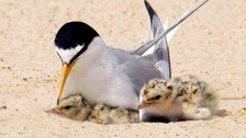 Little Tern and chicks
