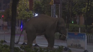 Elephant appears at people's fronts doors as it strolls for more than five hours in heart of Pu'er City