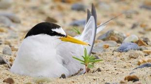 Appeal for volunteers to help rare coastal seabird