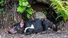 Cute little devil: A Tasmanian Devil has a quick nap
