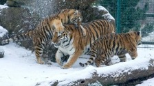 Amur tigers playing in the snow