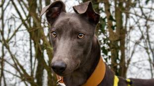 Devon the unlucky Greyhound