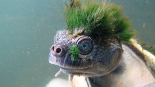 Punk haired turtle that breathes through its genitals added to endangered list by London scientists