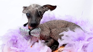 Britain's 'ugliest dog' lands top modelling contract