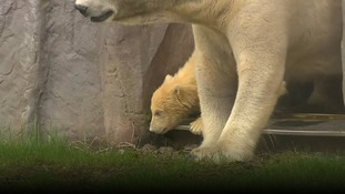 Vet's first day nerves for polar bear cub can be understood by every parent