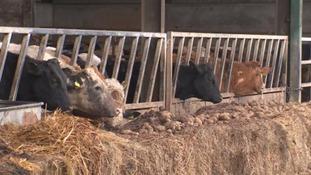 Cows on a Warwickshire farm