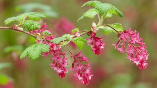 Flowering currant, North Lincolnshire  LEE BEEL