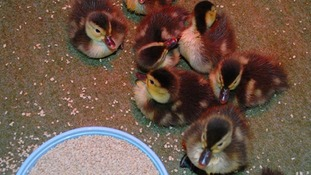 The 18 ducklings were hatched in Madagascar in a bid to save the breed from extension.