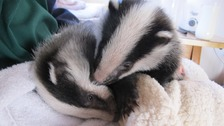 Orphan badger twins saved from starvation