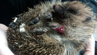 The hedgehog was found tied to a tree by shoelaces.