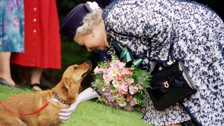 End Of An Era As The Queen S Last Royal Corgi Is Put Down