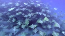 Stunned conservationist snaps 2,000-strong shoal of rays
