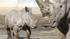 Jobari the baby rhino