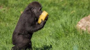 Gorilla Gernot enjoys frozen treats