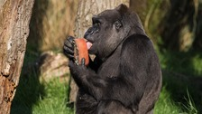 Giant ice-lollies made of frozen fruit tea and sunflower seeds helped cool down the gorillas.