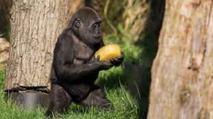 Gorilla Gernot enjoys iced treat at ZSL London Zoo.