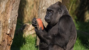 Effie gorilla enjoys an ice lolly at ZSL London Zoo.