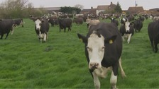 Joyous dairy cows get first taste of Spring
