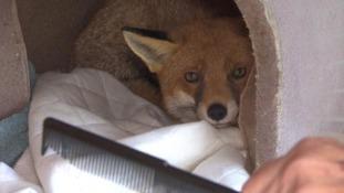 Harry the fox