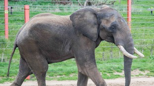 'Shaka' the African Bull Elephant arrives in Somerset