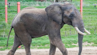 Shaka the African Elephant at his new home in Somerset