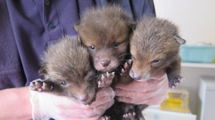 three fox clubs