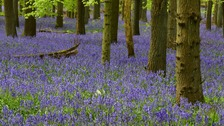 Bluebells at Ashridge near Tring in Hertfordshire.