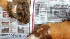 RSPCA appeal after guinea pigs abandoned