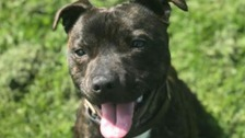 Staffordshire Bull Terrier qualifies as police dog