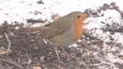 Robin