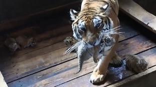 Endangered Manchurian tiger park celebrating bumper delivery from star breeder