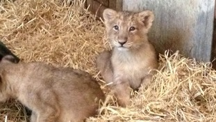 Rare lion cubs Kamran and Ketan born at Bristol Zoo