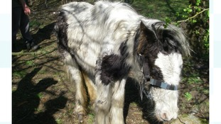 Emaciated and trembling ponies abandoned in field