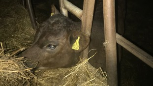 Calf rescued after his head got stuck in a metal feeder