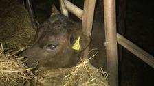 stuck calf