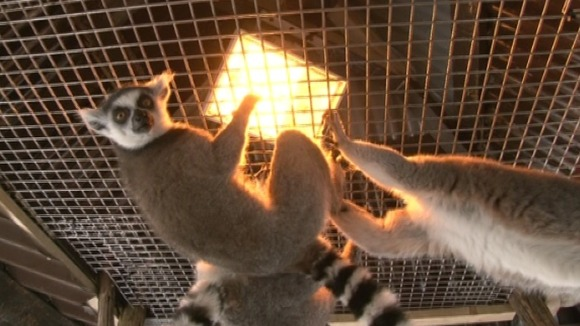 ringtail lemurs warming up in the cold snap central. Black Bedroom Furniture Sets. Home Design Ideas