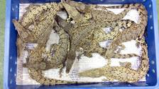 Ten foot-long reptiles had been packed into each box