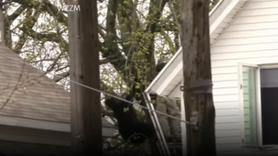 Bear falls from tree in botched US capture