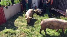 A lorry carrying 200 pigs overturned in Darlington.