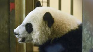 Panda takes a tumble after branching out too far