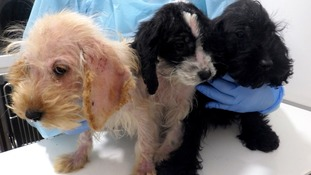 Cockapoo puppies found in 'terrible state' in West Yorkshire
