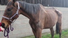 Hal, an emaciated horse
