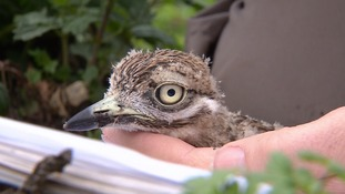 Four rare stone curlew eggs stolen from Suffolk nature reserve